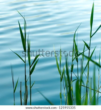 Flowering reed plants near to a lake. - stock photo