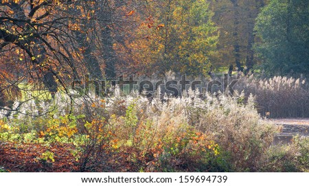 Flowering reeds are standing around a small pond. All the plants are in their autumn colors. An autumn background. - stock photo