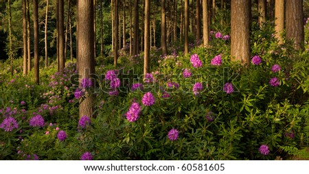 Flowering rhododendrons in the evening sun at Bere Wood, Dorset, UK
