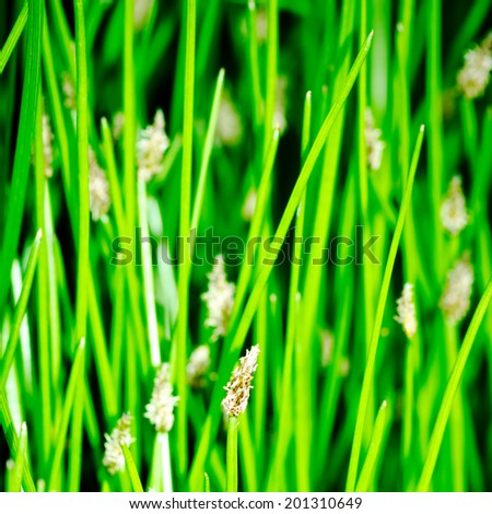 Flowering rush and grass plants near to a lake. - stock photo