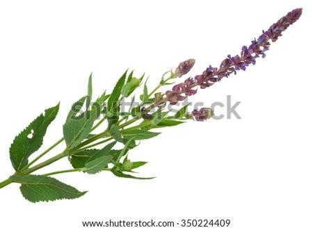 Flowering sage (Salvia officinalis) - stock photo
