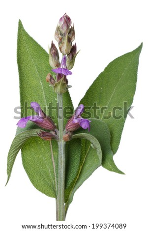 Flowering Salvia close up isolated on white background. vertical  - stock photo