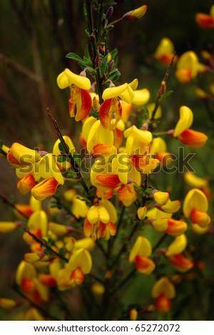 Flowering Scotch broom shrub (Cytisus scoparius) - stock photo