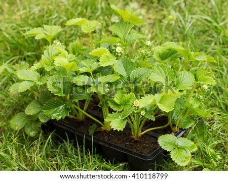 flowering seedlings of strawberries on the grass - stock photo