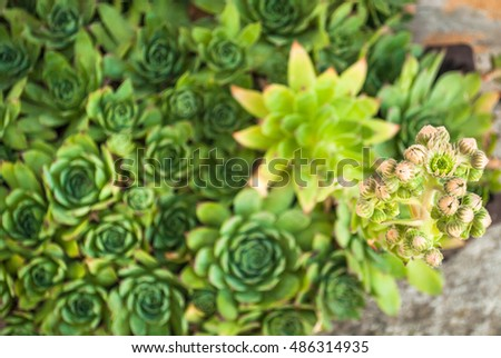 Flowering Sempervivum and buds. Sempervivum tectorum (Common Houseleek) is a perennial plant of the genus Sempervivum is used as an ornamental plant. It is also known as Hen and chicks or stone rose.