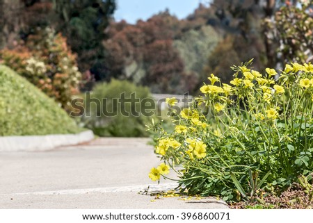 Flowering shrub along outdoor paved footpath, low angle view. Soft small bright yellow flowers leaning over the hard pavement. Blurred trees and bushes in blurred background.  - stock photo