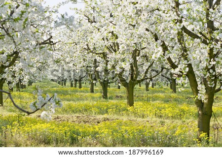 Flowering sour cherry orchard with lots of white flowers