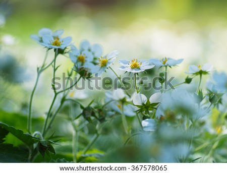 Flowering strawberries in the garden. Beautiful white flowers on colorful blurry background. Spring floral background. - stock photo
