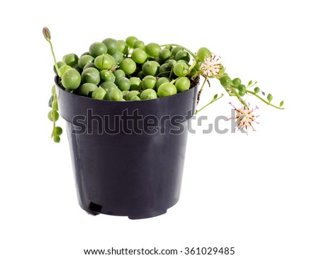 Flowering succulent String of pearls (Senecio rowleyanus). Isolated on white background