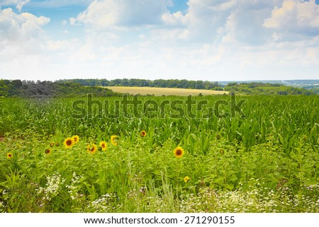 Flowering summer field with sunflowers - stock photo