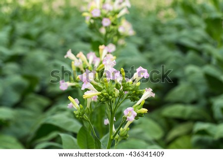 Flowering tobacco plant on tobacco field background, Germany - stock photo