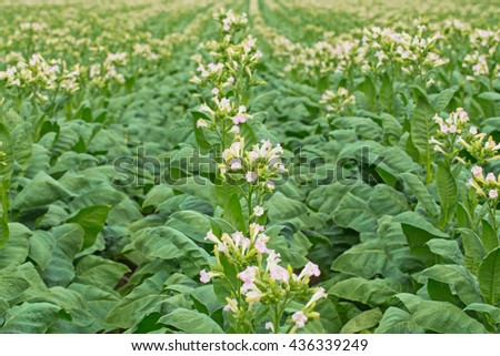 Flowering tobacco plants on tobacco field background, Germany - stock photo