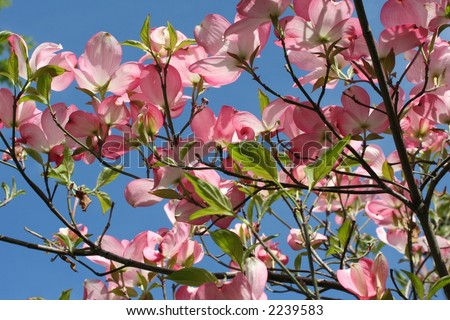 flowering tree - stock photo