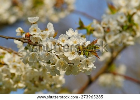 flowering tree over blurred nature background/ Spring flowers/Spring Background  - stock photo