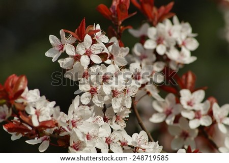 flowering tree over blurred nature background/ Spring flowers/Spring Background with bokeh - stock photo