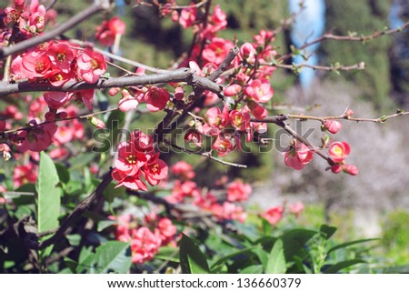 Flowering  tree with pink flowers on blur garden background - stock photo