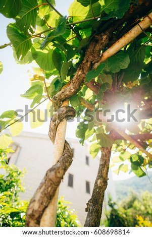 Flowering trees kiwi spring flowering vines stock photo royalty flowering trees kiwi spring flowering vines kicks in montenegro mightylinksfo