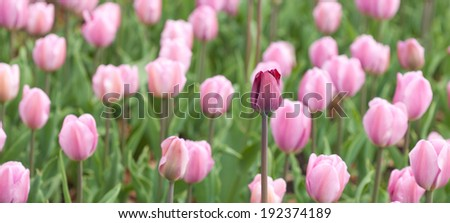flowering tulips natural background