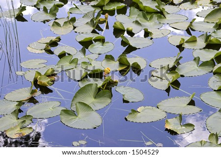 Flowering water lilies in Cub Lake in Rocky Mountain National Park. - stock photo