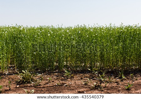 flowering white flax field, flax blooms in rows summer day - stock photo