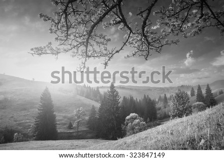 Flowering wild apple tree on a hill in a Carpathian mountains. Majestic sunrise. Spring time. Monochrome colors