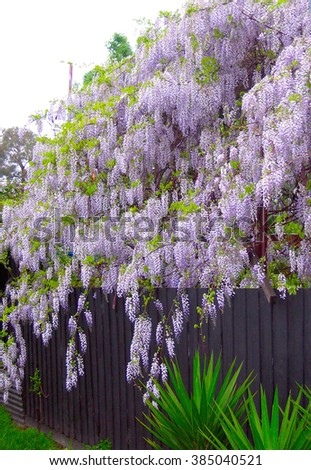 Flowering Wisteria Plant - stock photo