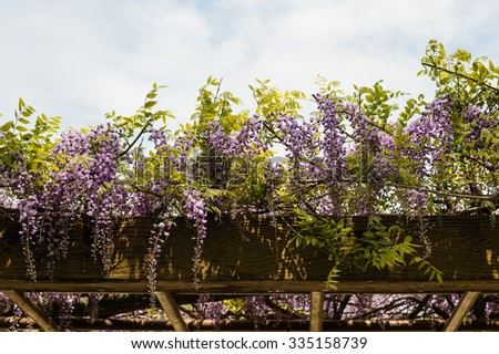 Flowering wisteria vines on trellis. - stock photo