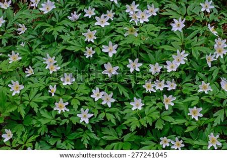 Flowering wood anemones in spring, - stock photo