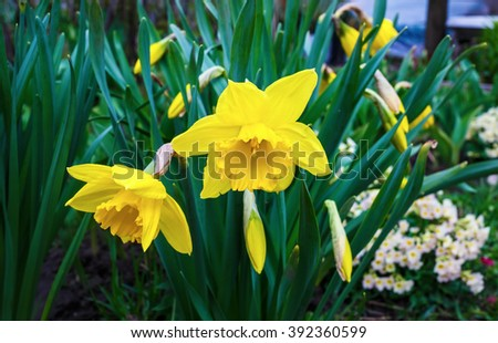 Flowering yellow daffodils. Blooming narcissus flowers. Spring flowers. Shallow depth of field. Selective focus. - stock photo