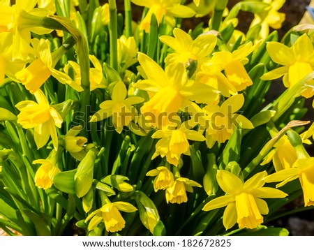 Flowering yellow daffodils in flowerbed in spring.