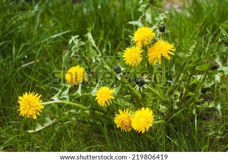 Flowering yellow dandelion in spring - stock photo
