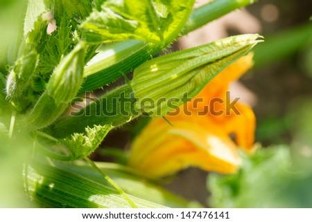 Flowering zucchini - stock photo
