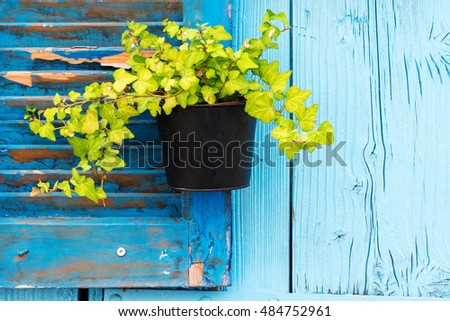 Flowerpot with ivy hanging on old rustic blue wooden wall.