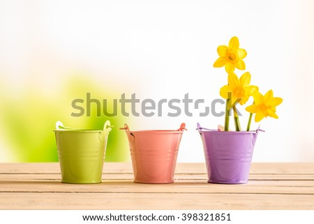 Flowerpots with yellow daffodils on a wooden desk - stock photo