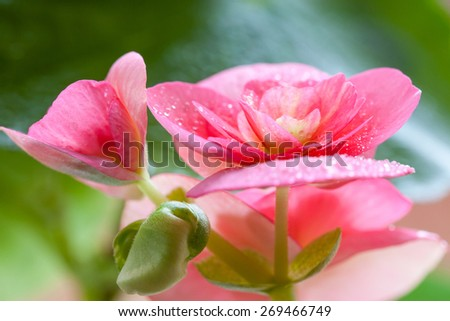 flowers and leaves achimenes in drops of dew. Shallow depth of field - stock photo