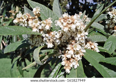 flowers and leaves of the Japanese loquat tree, eriobotrya japonica - stock photo