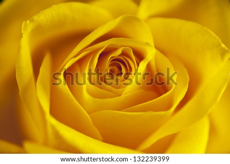 Flowers art closeup. Yellow rose. Floral background