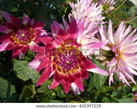 Flowers. Aster