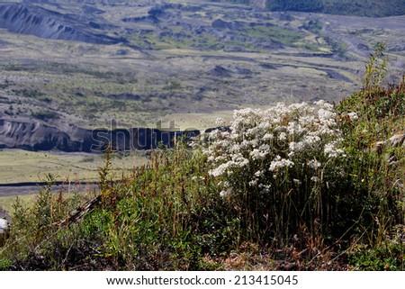 Flowers at Mt. Saint Helen's, Washington - stock photo