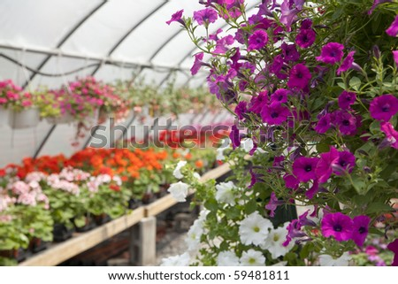 Flowers at the green house. Shallow DOF. Focus on the left side of the purple petunias. - stock photo