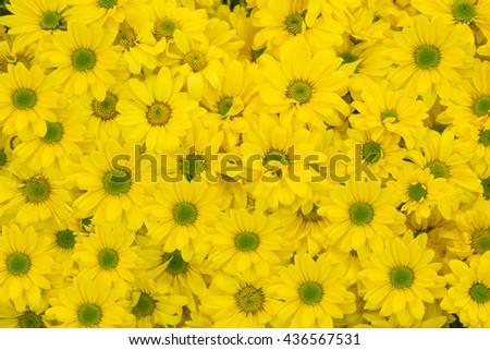 Flowers. Beautiful flowers. Yellow  flowers. Pattern flowers. Chrysanthemum flowers. Bouquet yellow chrysanthemum flowers for background and wallpaper - stock photo
