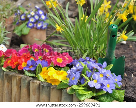 flowers bed of pansies and narcissus behind a wooden border  - stock photo