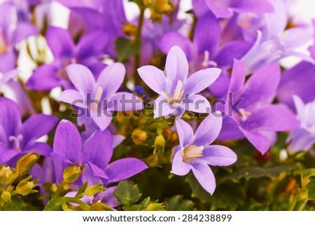 Flowers bells  - stock photo