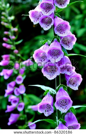 Flowers Campanula - stock photo