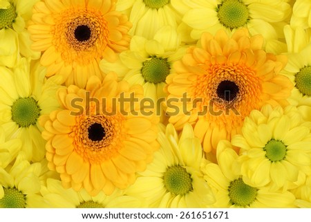 Flowers Chrysanthemums nature background in spring or mothers day - stock photo