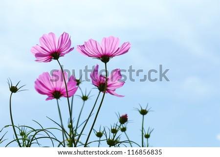 flowers cosmos against the blue sky.( Cosmos sulphureus Cav.) - stock photo
