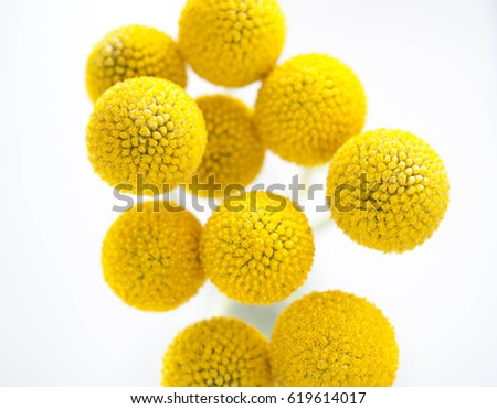 Flowers craspedia bright yellow balls stock photo image royalty flowers craspedia bright yellow balls mightylinksfo