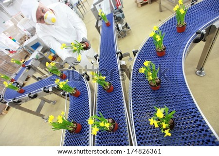 flowers,daffodils, on conveyor belt,production line,contemporary business - stock photo