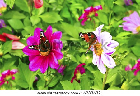 "Flowers Dahlia ,the name of the class""Cheerful guys"" with butterflies grow in the summer. - stock photo"