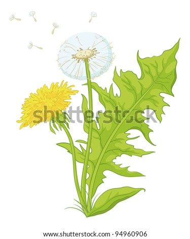 Flowers dandelions with green leaves, yellow, and with seeds